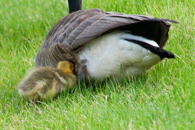 This little one wanted to snuggle up under its parent's wing but it doesn't seem like that's going to happen.