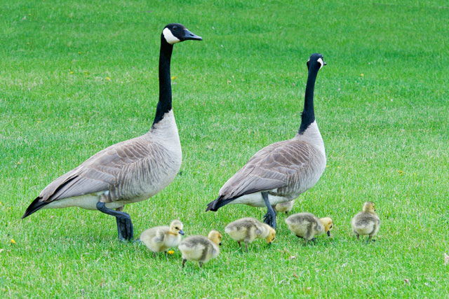 Here's the whole family.  The sixth baby is partially hidden behind the adult on the right.  Canada Geese are very attentive parents.  Both the mother and the father watch over the goslings.  At least one parent is alert and looking around at all times.