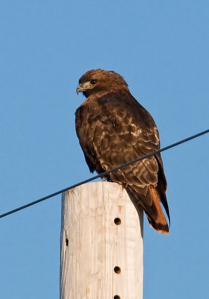 On my recent trip to western Minnesota I found this dark phase Red-tailed Hawk sitting on a pole in McLeod County.  The red tail is still diagnostic but the dark plumage on the rest of the body could almost make you think you are seeing a different species of bird.