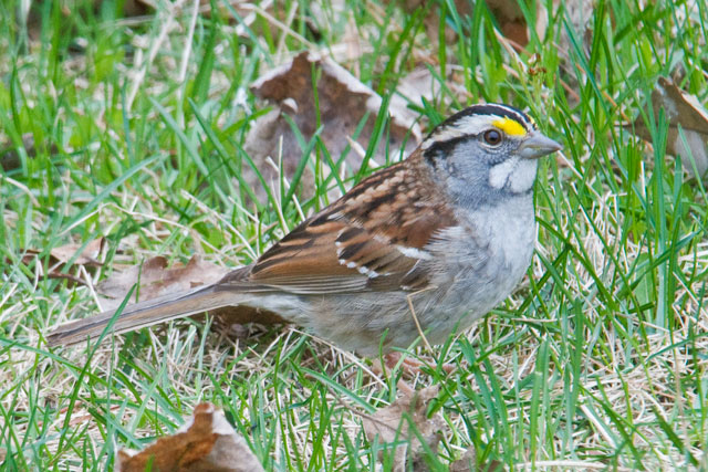 "I'm still not very good at recognizing bird calls but I knew the song of the White-throated Sparrow long before I knew which species of bird was singing it.  We would hear their ""Oh Sweet Canada, Canada, Canada"" song at our lake home in the summer and we called it our mystery bird call.  One day I was listening to some recorded bird calls and finally found out that our mystery bird was this sparrow.  It is aptly named; you can see the white patches on its throat.  It also has black and white stripes on its head and a bright yellow spot right in front of each eye.  Their nesting territory is mainly in Canada but, in Northern Minnesota, we are at the southern edge of it."