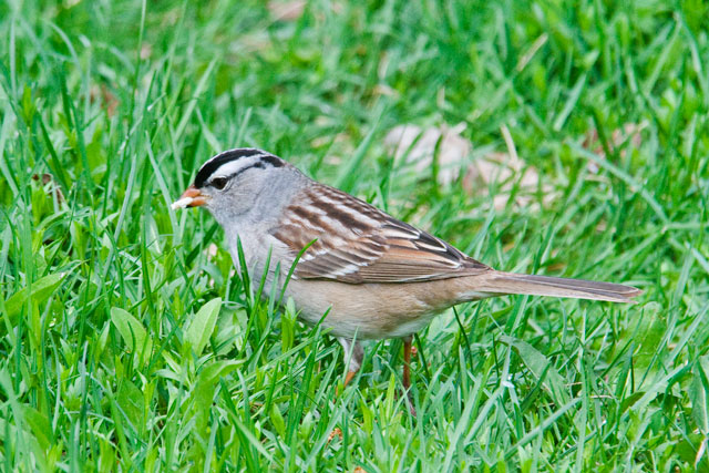 I think the White-crowned Sparrow is one of our most elegant sparrows.  It has a pattern of bold black stripes on its white head.  The bill ranges from pink to dull yellow.  In our area we have to keep a careful watch for these sparrows because they are just passing through on the way to their breeding grounds.  They nest in far northern Canada and in the mountainous areas of the western United States.