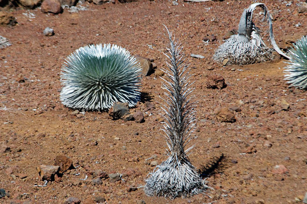 These Silversword plants were growing near the summit lookout.  The one on the left hasn't flowered yet.  The one in the center probably flowered last year and is now deteriorating.  Silverswords were formerly very common on the Haleakala Crater.  However, by the early 20th century, introduced insects and goats along with human collectors had reduced the population to fewer than 100 plants.  The National Park Service has been aggressively protecting them.  They are recovering but are still endangered.