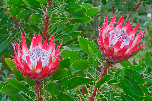 This King Protea was also growing at the Kula Botanical Garden.  I would never have guessed that its native habitat is dry, windswept mountains in South Africa and Australia.  It produces these very showy blossoms which last for weeks in a flower arrangement.