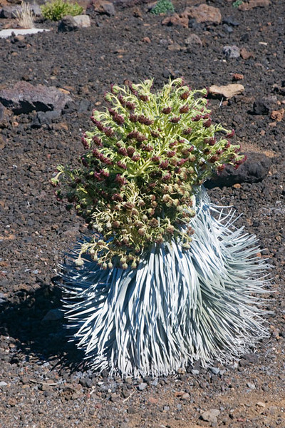 When we visited Haleakala National Park on Maui we were hoping to see this plant, the Silversword, in bloom.  It grows at the 10,000 ft summit of the Haleakala volcano, above the treeline.  The white hair on the succulent-type leaves protects the plant from the intense sunlight.  After growing for an average of 12 years, these plants send up one giant flower stalk, which can be up to 6 ft tall, and then they die.  This one, near the visitor center, was the only accessible one that bloomed this year.