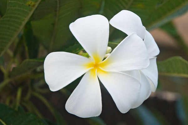 Plumeria trees are a common sight on the islands.  They are used in landscaping at many of the resorts and in home gardens.  They are also grown commercially.  Their sweet smelling flowers are easy to string and are thus a popular flower for leis.