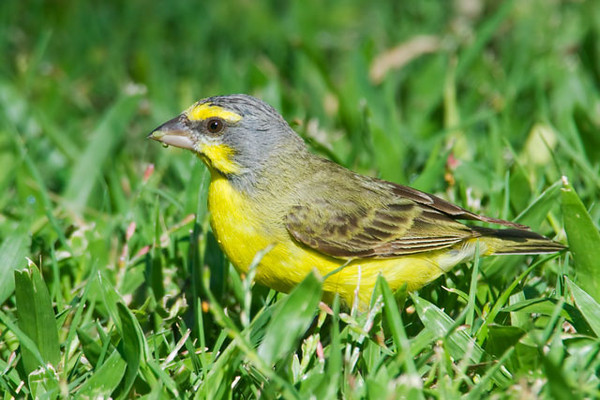The Yellow-fronted Canary is a native of Africa.  It likes open, dry parkland and woods.  It was introduced to the Hawaiian Islands in the late 1960s.
