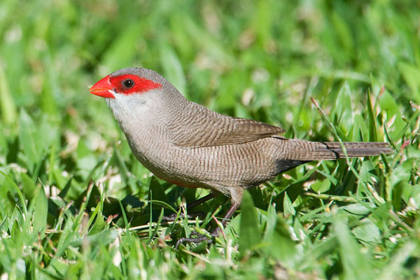 The Common Waxbill is a small, canary-size bird.  It's not certain when this native of Africa was introduced to the islands but it was first identified in the late 1970s.