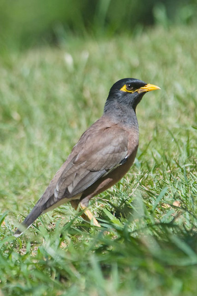 The Common Myna is found on all the main islands of Hawaii.  It was introduced from India in 1865 to control insect pests.  The Myna is related to the European Starling.  Mynas have been introduced in many parts of the world and have become real pests in some of those places.  In the year 2000 they were included on a list of the world's 100 worst invasive species.  They were one of only three bird species on this list; the rest were mammals, insects, etc.