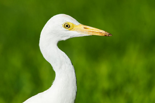 Mainland birders are familiar with the Cattle Egret.  In 1959, Cattle Egrets were introduced from Florida to control insect pests.  We saw flocks of them following the mowing machines along the highway and catching the insects stirred up by the mowing.