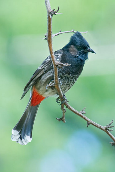 This handsome bird is a Red-vented Bulbul.  They first appeared on Oahu in the mid 1950s.  It is believed that they were cage birds released into the wild.  They do like fruit and the buds of fruit trees.  This food preference has made them a serious agricultural pest.