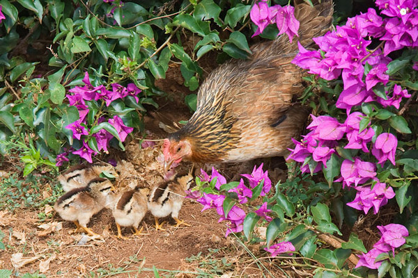 Hidden under the Bougainvillea at Opaekaa Falls on Kauai, this hen was teaching her chicks to scratch in the leaf litter for seeds and insects.