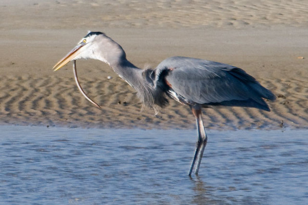 Finally the heron got the eel into position and began to swallow it.