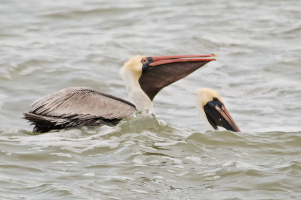 This pelican has just finished swallowing some fish.  The second pelican appears to be mostly underwater but it is just behind one of the large waves.