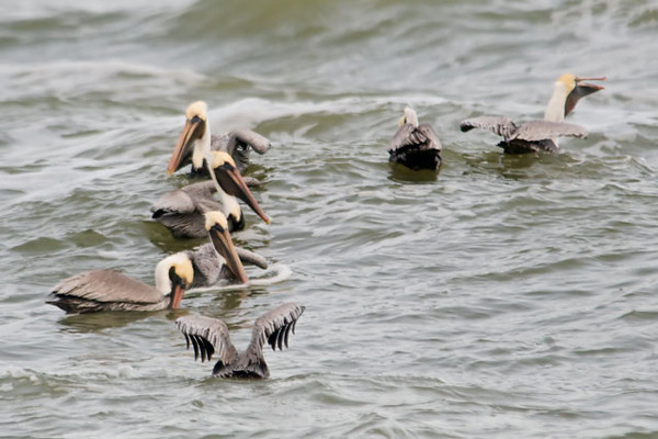 Two days ago a small group of Brown Pelicans went into a feeding frenzy in the Gulf of Mexico right in front of the home we are renting in Florida.  They were gorging themselves on some kind of fish close to the shore.