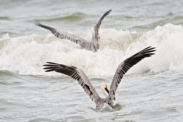 The waves were quite high so the pelicans had to fight through them to get at the fish.  Their 7-foot wingspan was very evident as they held their wings up in the air.