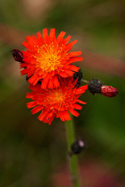 I know, Orange Hawkweed is an invasive species and most people consider it a real pest.  But it does have a very pretty flower.