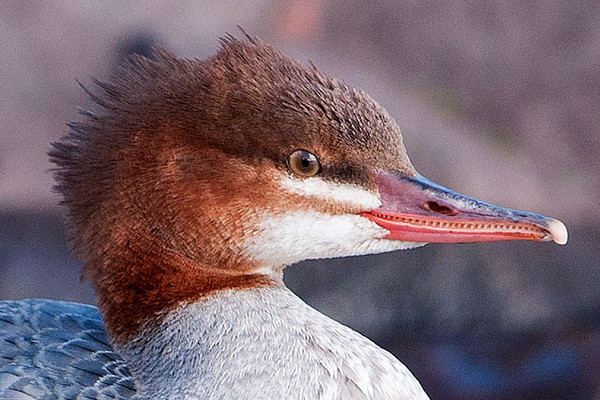 "Here's a close-up of the Merganser.  This photo shows you how they got their nickname of ""sawbill"".  Mergansers are diving ducks that catch a lot of small fish.  The serrated edge of the bill helps them hold on to the slippery fish."