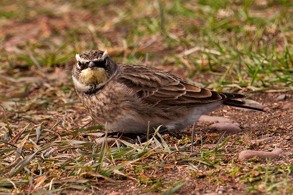 "I saw many Horned Larks migrating south during our trip.  This photo was also taken in Grand Marais.  This particular view shows you why ""horned"" lark is a very appropriate name"