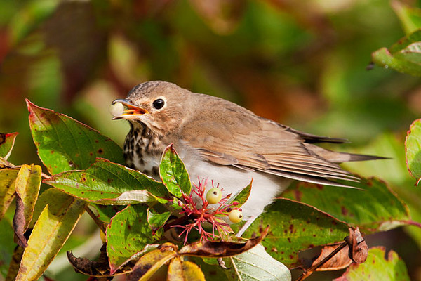 Swainson's Thrushes were also migrating.  I found them feasting on berries along a Cook County road near Grand Marais.  Notice how this one is using its tongue to help position the berry for eating.