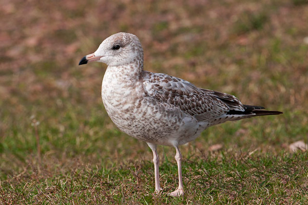 Ring-billed Gulls are common birds found along Minnesota's North Shore.  This one is a juvenile and has exceptionally nice looking plumage.  I took this photo in Grand Marais.