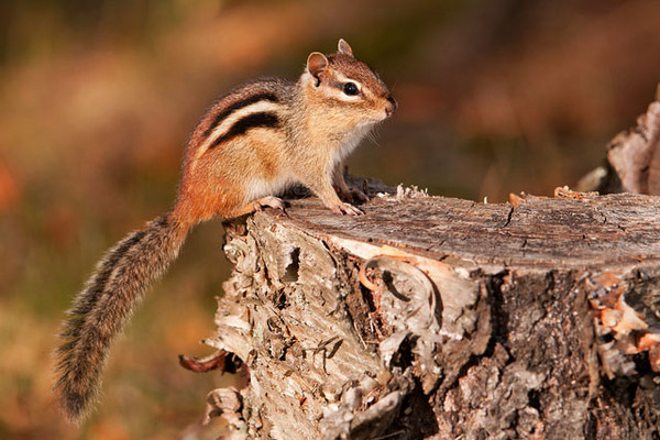 Chipmunks were busy gathering food for the winter.  This one posed for me in the yard by our cabin at Fenstad's.