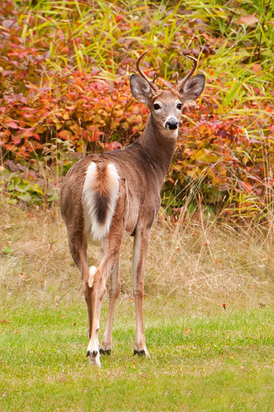 I took this photo of a White-tailed Deer from the door of our cabin at Fenstad's Resort in Little Marais, MN