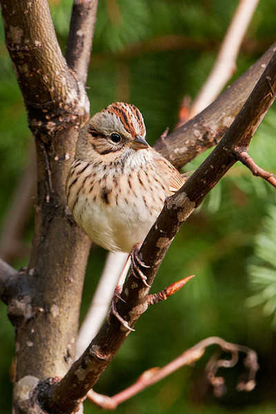 Identifying sparrows can be a daunting task.  But if you look closely, some of them are really handsome LBJs (little brown jobs).  This Lincoln's Sparrow was also found in Cook County.  It was along County Road 48.