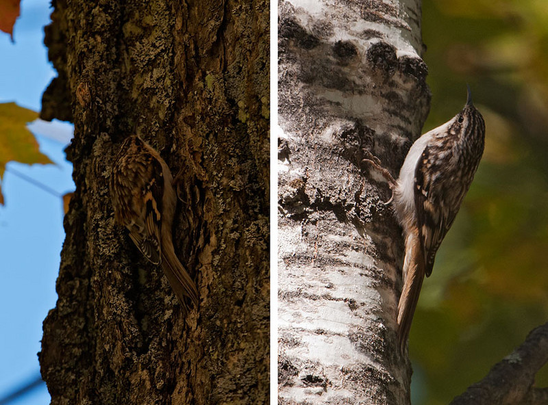 There really is a bird in the photo on the left.  Look in the center of the photo and you will see a very well-camouflaged Brown Creeper.  It disappears against the bark of a dark tree.  In the photo on the right, you can see the bird more easily against the light-colored tree trunk.  Brown Creepers feed by flying to the base of a large tree and working their way upward, sometimes spiraling around the trunk as they move higher.  It is thought that by going up the tree they find insects and insect eggs hidden in the bark that are missed by other birds, like nuthatches, who work their way down a tree.  Both of these photos were taken on Cook County Road 140.