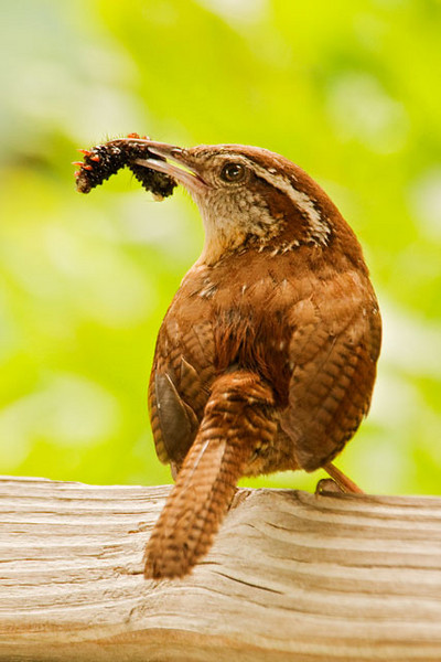 This Carolina Wren was bringing a tasty morsel to its babies.  The nest was located behind a sign in one of the gazebos overlooking the gator pond.