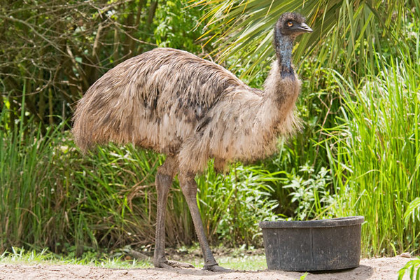 This Emu is the only captive bird that I photographed at Gatorland.  They are native to Australia and are the second largest bird in the world (the Ostrich is the largest).  Emus can run for extended periods at 30 miles per hour.  Their stride is up to 9 feet in length.