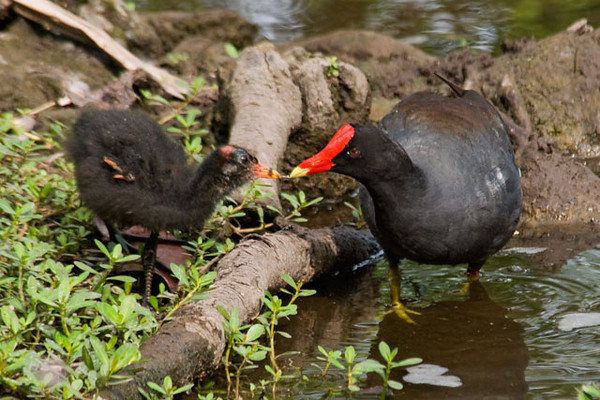 Here's an adult Common Moorhen feeding something to a juvenile.