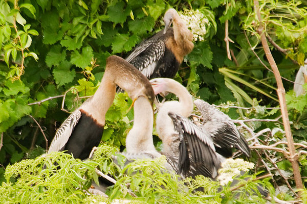Anhingas feed regurgitated fish to their chicks.  This youngster wasn't waiting for the fish to be delivered; it was going in after it!  I'm amazed that it didn't poke out through the back of the adult's neck.