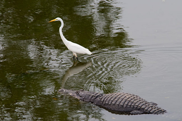 At Gatorland, near Kissimmee, Florida, the birds and the Alligators share the same pond.  I can only conclude that this Alligator wasn't hungry and this Great Egret knew that.  The Egret was stalking something and walked right by the gator.