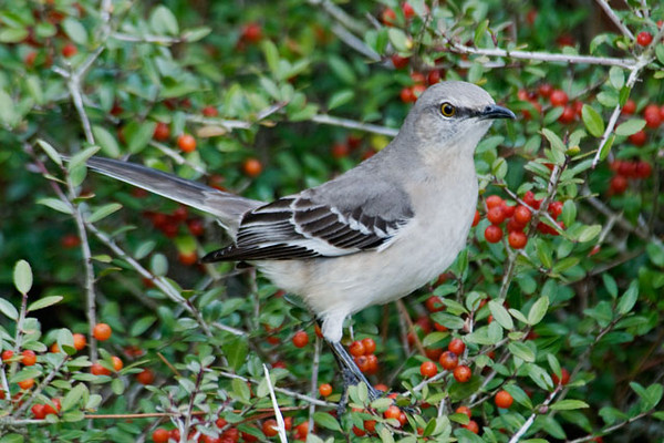 "Now there's a bird with an attitude!  Can't you just imagine this Northern Mockingbird admonishing you and saying, ""This is MY holly bush!""  Mockingbirds are very common in Florida so most people don't pay much attention to them.  But they are interesting to me because they are not at all common in Minnesota.  They get very territorial and aggressively defend their feeding territory.  Five states have chosen the Mockingbird as their official state bird (Arkansas, Florida, Mississippi, Tennessee, and Texas).  This photo was taken at Salinas Park."