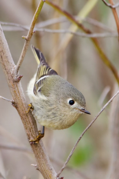 "This cute little bird is a Ruby-crowned Kinglet.  Only males have a ruby crown and it is often hard to see.  So, we can't really tell if this is a male or a female.  Kinglets are tiny; only about 4"" long.  They forage for insects on tree branches and seem to be constantly on the move.  They have a habit of flicking their wings a lot when they are feeding.  This might serve to startle small insects and make them reveal their location.  Kinglets spend the winter in the southern United States and Mexico.  In summer they migrate to Canada, Alaska, and the Rocky Mountains to raise their young.  I took this photo at Bald Point State Park."