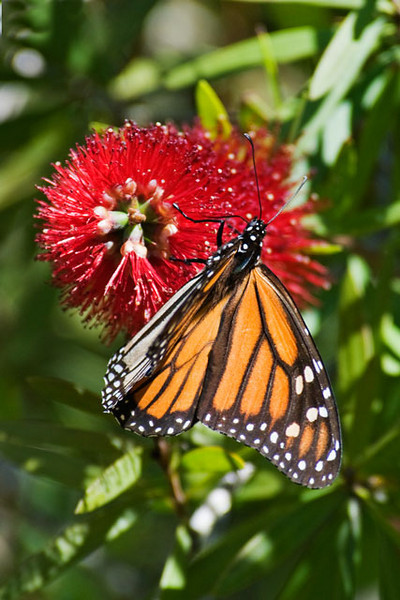 Before the current cold snap we were seeing Monarch Butterflies on St. George Island.