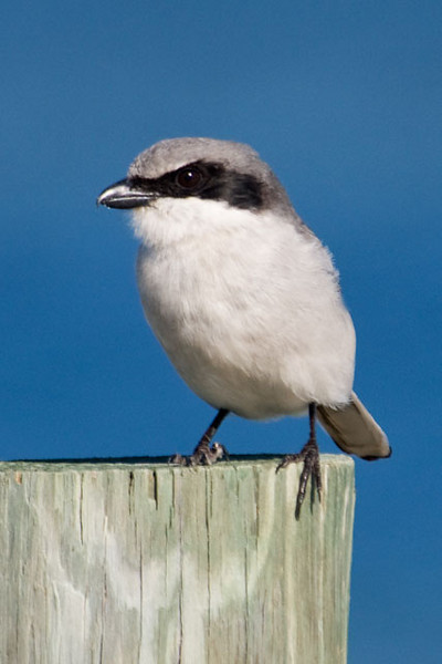 This masked bird with the hooked beak is a Loggerhead Shrike.  They are found year-round in the southern United States.  In summer, some of them migrate to the central states and into Canada to raise their young.  They like open country where they perch on low bushes, power lines, or barbed wire fences.  When they spot an insect, lizard, or mouse, they swoop down and grab it.  Sometimes they will impale their prey on a thorn or on the barb of the wire fence.  This might be a way to mark their territory or they might just be saving it to eat later.  This photo was taken at St. Joseph Peninsula State Park in Florida.