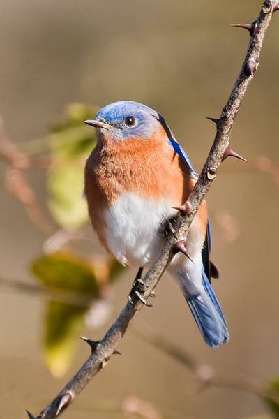 During a recent visit to some friends on Jekyll Island off the southeastern coast of Georgia, I went to Harris Neck National Wildlife Refuge.  It was a nice sunny day and the Eastern Bluebirds were checking out the nest boxes.  This is a male bluebird who posed on a very prickly branch for me.