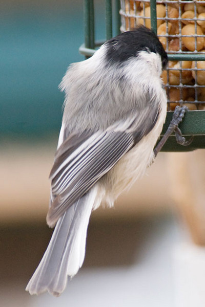 We have three different leucistic Chickadees coming to our feeders.  This one has two pure white feathers on the right side of its tail.  Leucistic birds are quite rare.  Project Feederwatch, sponsored by Cornell Lab of Ornithology, says they have about 5.5 million birds reported each year.  But in seven years (2000-2006) they had a total of less than 1000 leucistic birds reported.  That would be only about 1 in every 38,500 birds, and we have three at one time.