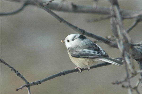 "I have only photographed two other leucistic birds.  This Black-capped Chickadee was coming to a feeder in Shoreview, MN, in January 2005.  It had white feathers on its head and almost looked like a miniature Gray Jay to me.  I also have a photo of a leucistic female Boat-tailed Grackle in one of my bird galleries.  It was taken in Florida.  Here's a link to that photo.    <a href=""http://www.earlorfphotos.com/Birds/Birds-2/5687792_6Gvu4#350661748_o52XB"">http://www.earlorfphotos.com/Birds/Birds-2/5687792_6Gvu4#350661748_o52XB</a>"
