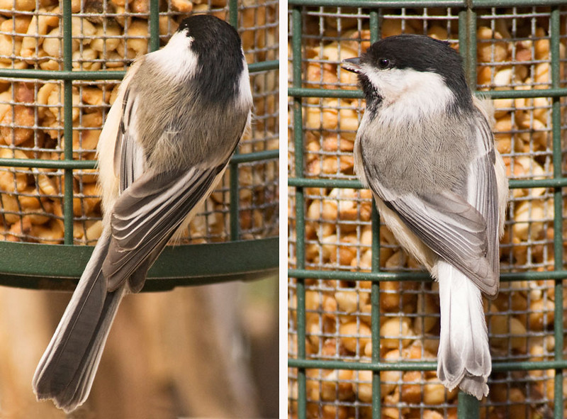 We've had some unusual Black-capped Chickadees visiting the feeders at our home in northern Minnesota.  The photo on the left shows the normal color of the feathers on a Chickadee.  Notice the tail feathers; they are gray with a little white on the edges.  Compare that to the photo on the right.  This Chickadee has tail feathers that are all white with a little gray on the tips and the shaft.  Some people call birds like this partial albinos but the generally accepted term is leucistic.