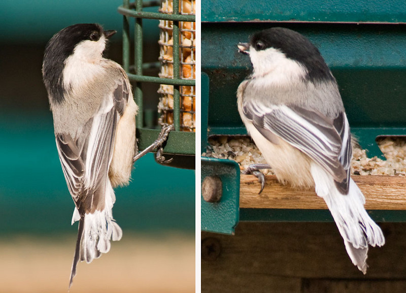 Here are two more views of the same bird.