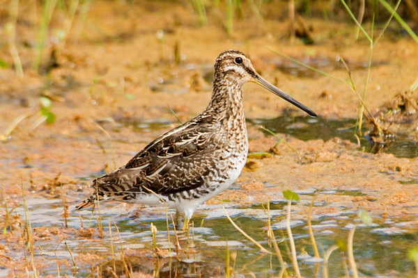 At Cape Hatteras Lighthouse I found this Wilson's Snipe feeding right along the road.  I was interested to see how far it could probe into the mud with that long bill.