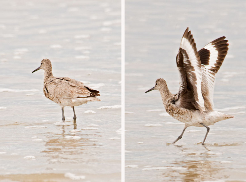 The Willet is a pretty plain looking bird when it's standing along the shore.  But when it raises its wings, you get to see the beautiful hidden feather pattern.  This one was seen at Pea Island National Wildlife Refuge.