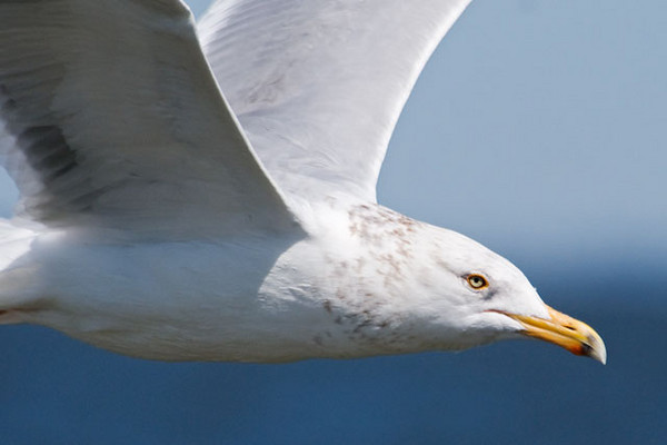 Getting to Ocracoke Island requires taking a ferry.  We got on at Swan Quarter, North Carolina, and 2 ½ hours later we were in Ocracoke Village.  A mixed flock of gulls followed the ferry for the whole trip.  This is a close up of one of the Herring Gulls.