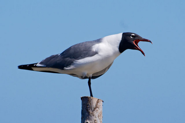 Laughing Gulls are pretty noisy birds.  This one is giving the raucous call that is the source for their name.  This photo was taken in the bay at Ocracoke Village.
