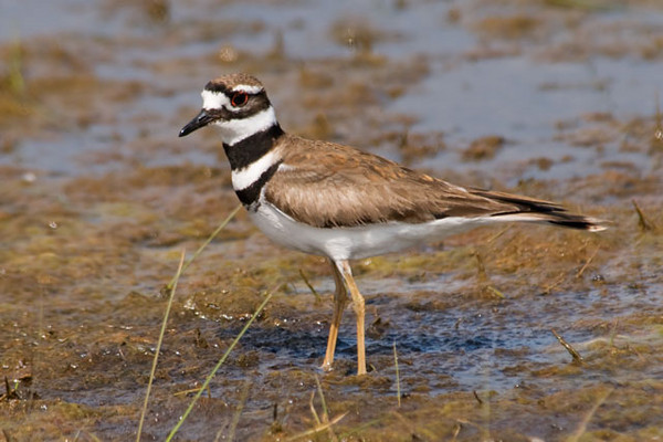 "Killdeer are very common birds and are found all across the United States and most of Canada.  They are often found at the water's edge as this one was.  They are also well known for their ""broken wing"" act used to lure people and predators away from their nests.  I took this photo at the Cape Hatteras Lighthouse."