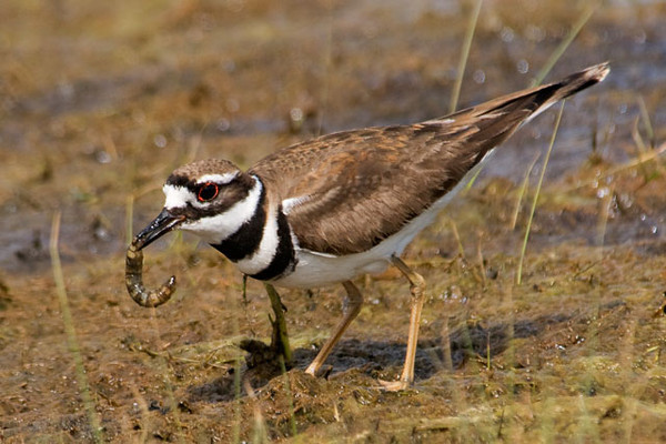 This Killdeer found a nice juicy grub for dinner.