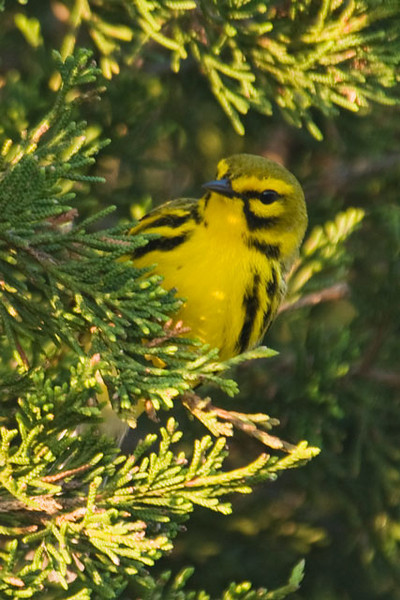 We enjoyed our recent trip to the Outer Banks of North Carolina.  This Prairie Warbler, seen on Ocracoke Island, would be a rare sighting where I live in Minnesota.  Its name is confusing because it's not a prairie bird.  Rather, it's found in brushy fields, open pine stands, and mangrove swamps in the southeastern United States.