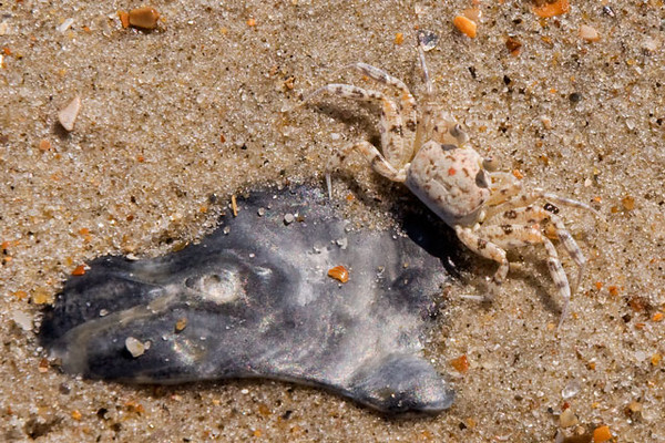 Ghost Crabs are found on the shore of Ocracoke Island.  The dark object is an oyster shell.  The crab is in the upper right of the photo.  It blends in remarkably well with the wet sand.